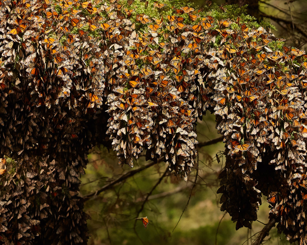 butterfly migration mexico